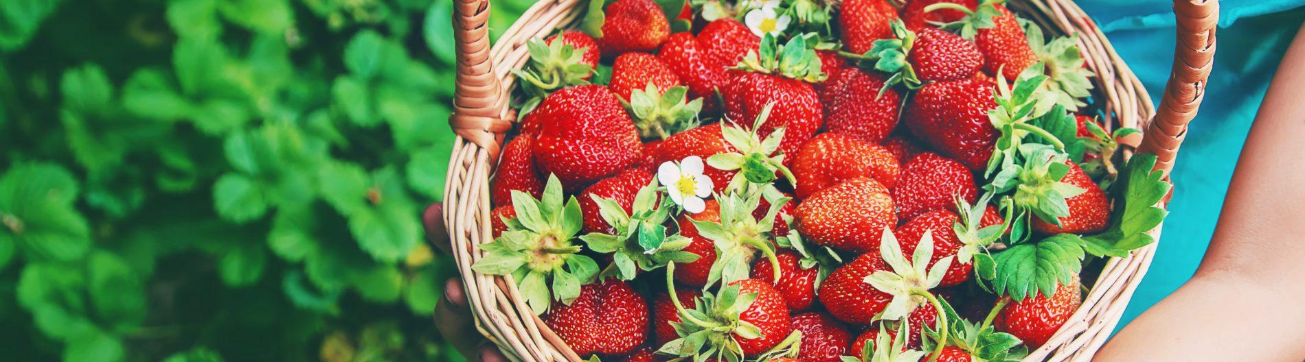 fresas: botánica