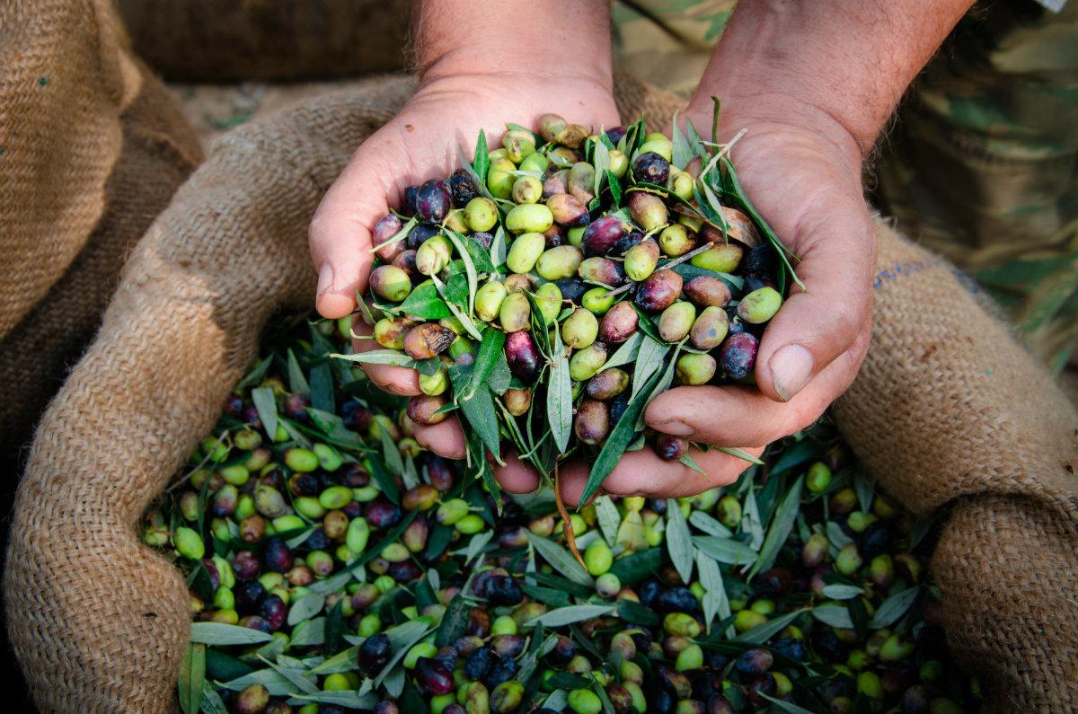 aceite de oliva virgen extra, cosecha